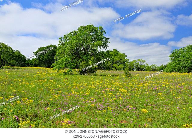 Oak tree and spring wildflowers along Ranch road 2618, Mason County, Texas, USA