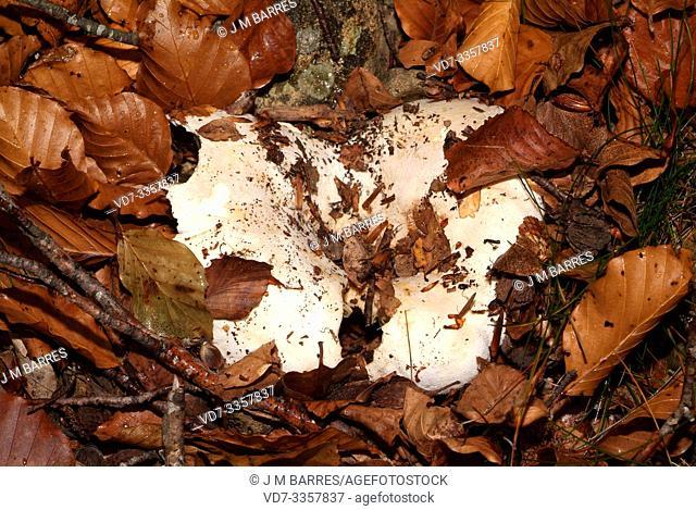 Milk-white brittlegill (Russula delica) is an edible mushroom. This photo wsa taken in Montseny Biosphere Reserve, Barcelona province, Catalonia, Spain