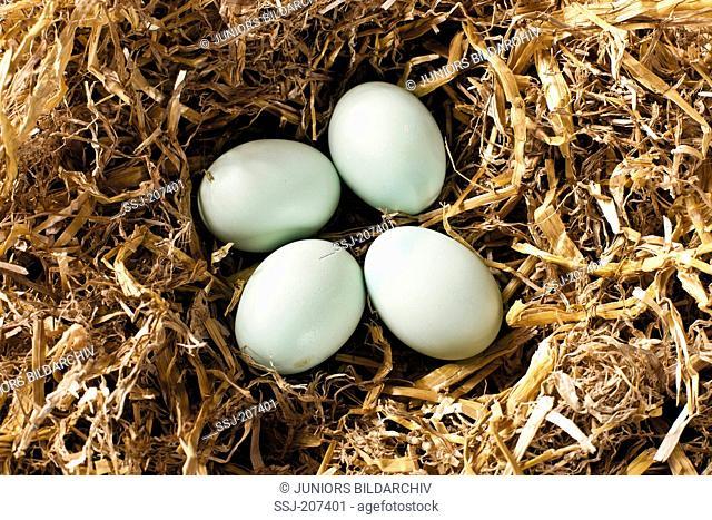 Araucana Chicken. Clutch of eggs in straw. Germany