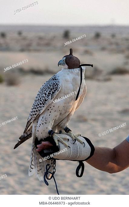 Arabia, Arabian peninsula, the Persian Gulf, United Arab Emirates (VAE), Dubai, Bab al Shams Desert Resort, falcon on the hand of the falconer