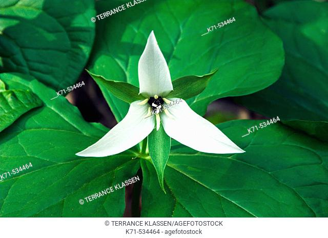 A white trillium portrait in the forests of The Great Smoky Mountain National Park, North Carolina, USA
