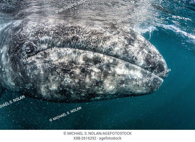 California gray whale, Eschrichtius robustus, mother underwater in San Ignacio Lagoon, Baja California Sur, Mexico