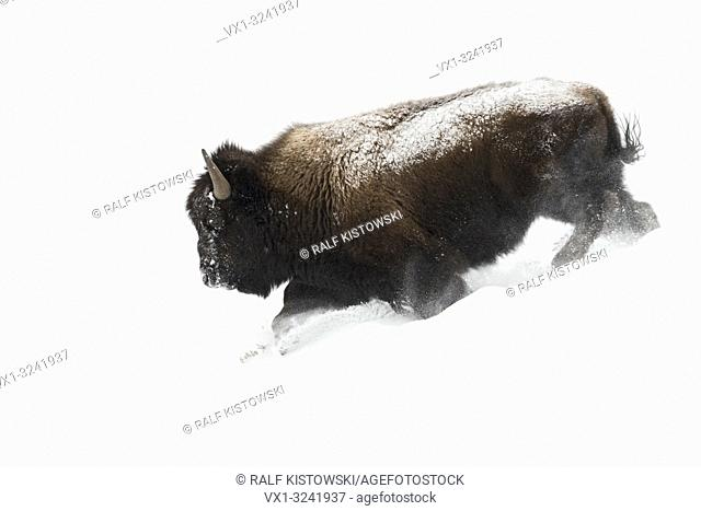 American Bison ( Bison bison ), bull in winter fur, running downhill through deep fluffy snow, powerful, impressive, Yellowstone NP, Wyoming, USA