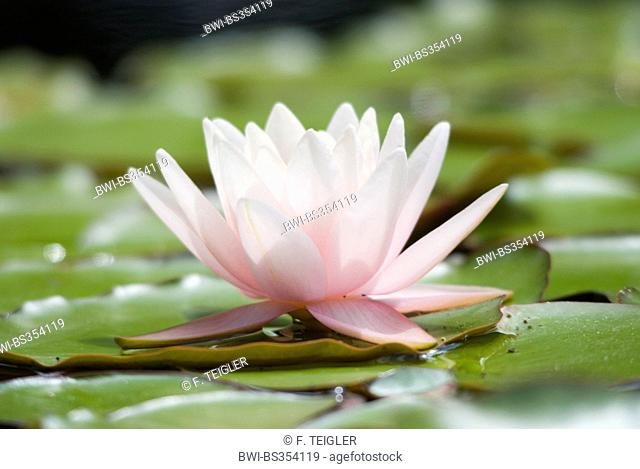 water lily, pond lily (Nymphaea spec.), single flower