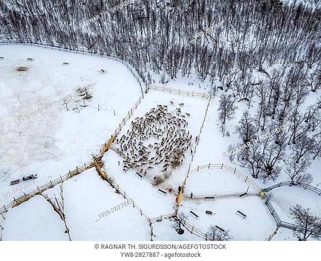 Reindeer herding, Laponian Area, Stora Sjofallet National Park, Lapland, Sweden. World heritiage Area