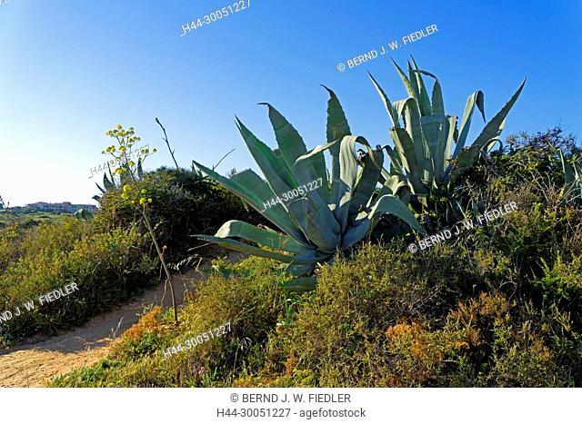 Ponta da Piedade, agaves, shrubs, Lagos Portugal