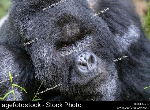 Africa, Uganda, Mgahinga, The Mgahinga Gorilla National Park in Uganda adjoins the Virunga National Park in the Democratic Republic of the Congo and the...