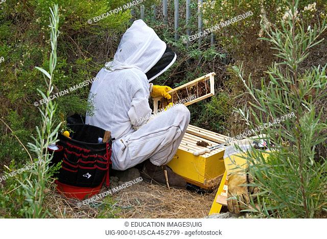 Urban beekeeper removing feral bee hive from bushes near Ballona Creek, Los Angeles