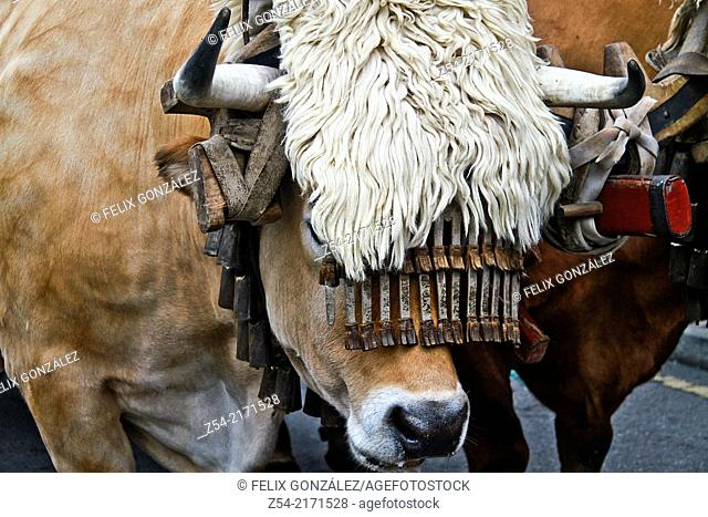 Oxen at Aviles Festival, Asturias, Spain