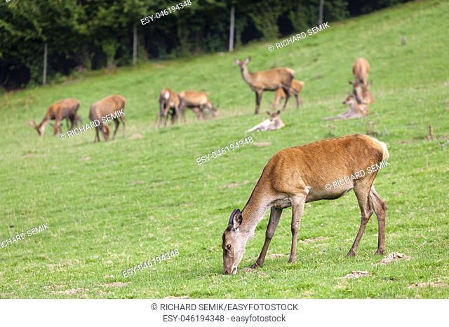 forest animal, Styria, Austria