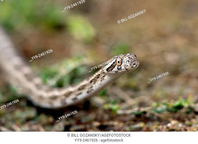 Great Plains Rat Snake (Pantherophis emoryi) - Camp Lula Sams, Brownsville, Texas, USA