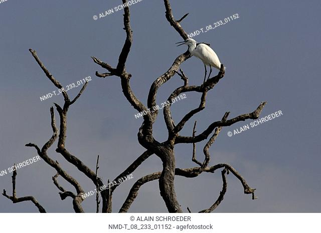 Low angle view of an Egret perching on a bare tree branch, Pilanesberg Park, North West Province, South Africa
