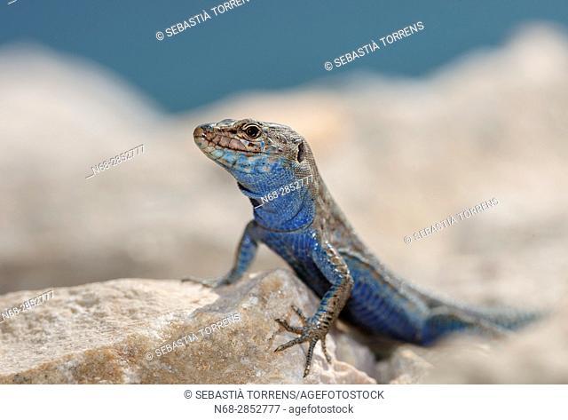 Lizard (Podarcis lilfordi), Cabrera, Balearic islands, Spains