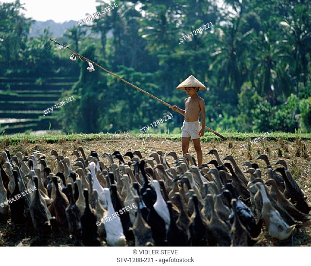 Asian, Bali, Asia, Balinese, Boy, Flock, Geese, Hat, Herd, Herding, Holiday, Indonesia, Indonesian, Landmark, Livestock, Outdoor