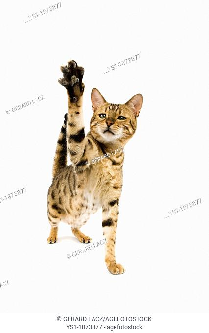 Brown Spotted Tabby Bengal Domestic Cat, Adult playing, Holding up front Paw against White Background