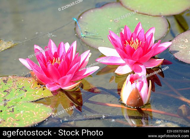 Seerose, nymphea, teich, see, weiher, teichpflanze, wasserpflanze, natur, blume, blüte, rot, rosa, pink