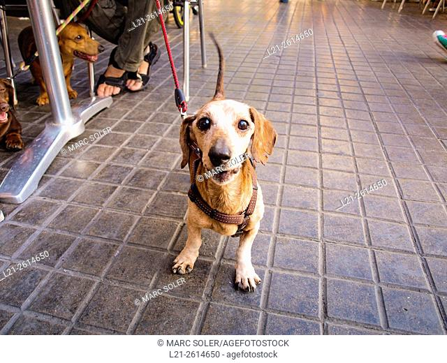 Dog in street. Barcelona, Catalonia, Spain