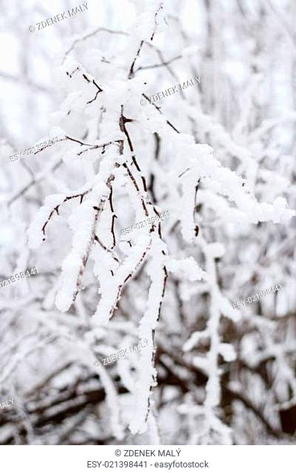 winter snow branches