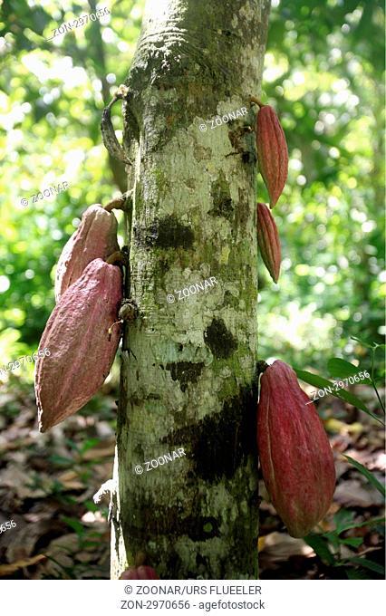 Suedamerika, Karibik, Venezuela, Nord, Chuao, National Park Hanri Pittier, Dorf, Cacao Dorf, Kakao Dorf, Regenwald, Kakao, Bohne, Frucht, Baum, Pflanze