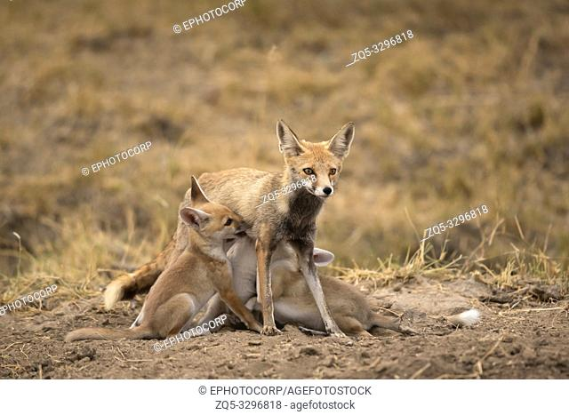 Desert fox with juveniles, India