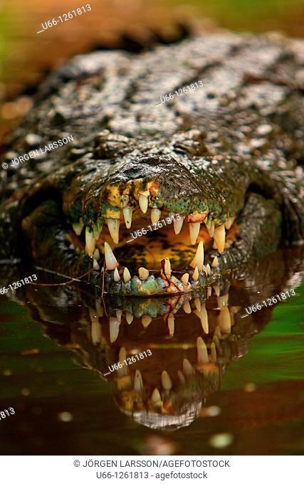 Crocodile Kenya Africa