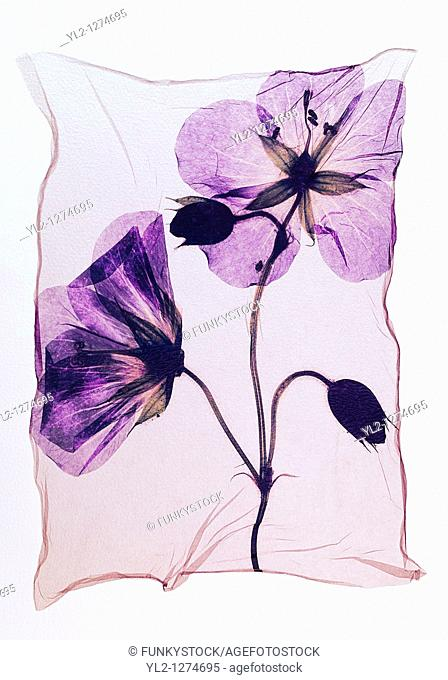 Pressed geranium  Meadow Cranesbill  - Wild flowers - Polaroid lift