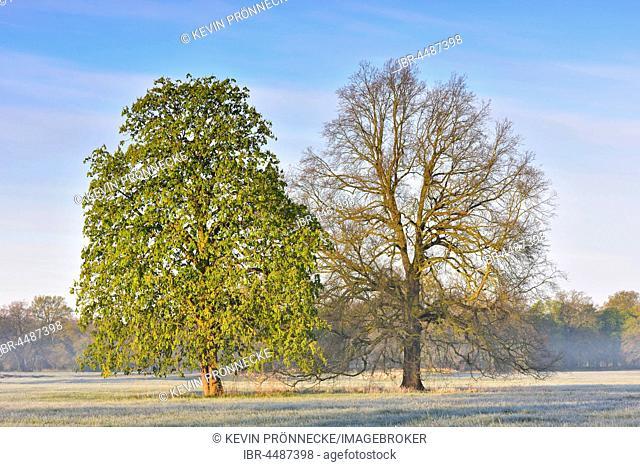 English oak (Quercus robur) and European horse-chestnut (Aesculus hippocastanum) at Middle Elbe Biosphere Reserve, Dessau, Saxony-Anhalt, Germany