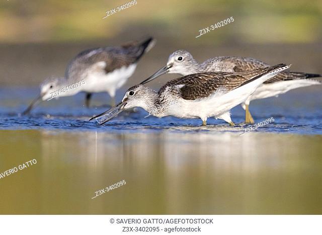 Greenshank (Tringa nebularia), adults catching fish in a pond, Campania, Italy