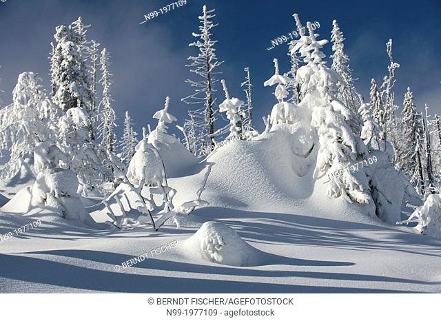 Winter in the National Park Bavarian Forest (Bayerischer Wald), pines in hoar frost, Bavaria, Germany