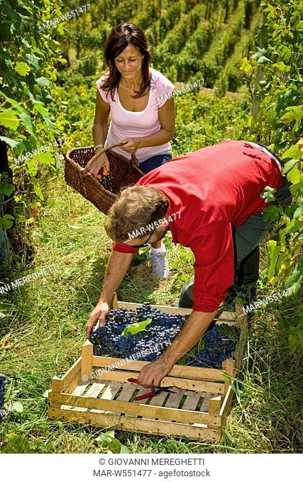 Italy, Lombardy, Valtellina, Chiuro, harvest time