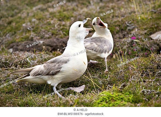 northern fulmar Fulmarus glacialis, greeting at the nest, United Kingdom, Scotland, Shetland Islands, Fair Isle