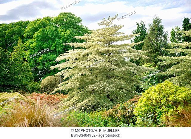 giant dogwood (Cornus controversa 'Variegata', Cornus controversa Variegata), blooming cultivar Variegata, United Kingdom, England