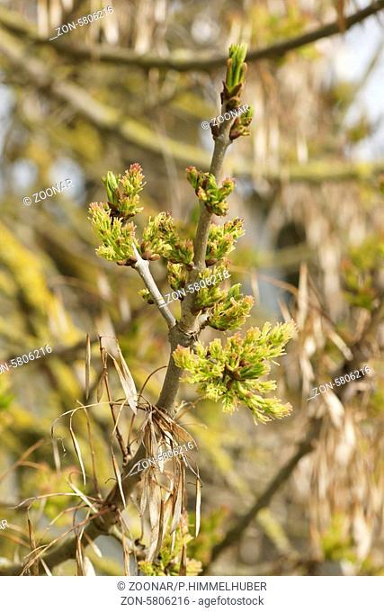 Fraxinus excelsior, Esche, Ash, weibliche Blüten