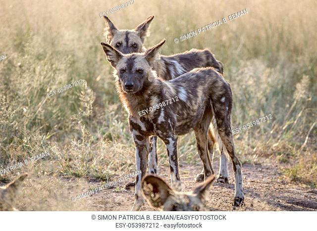 African wild dogs standing in the grass in the Kruger National Park, South Africa