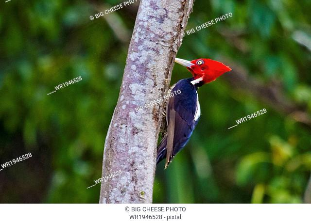 Lineated Woodpecker perched on a tree