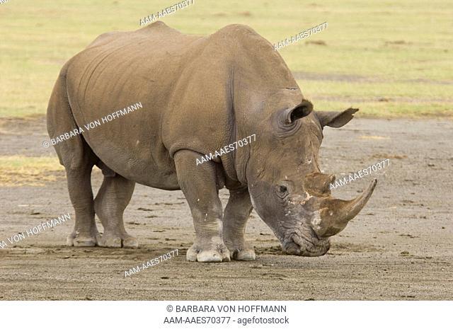 White Rhino (Ceratotherium simum) Lake Nakuru National Park, Kenya