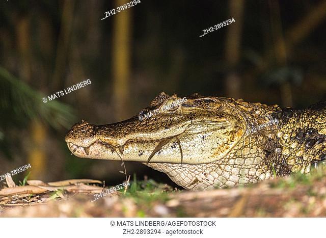 Spectacled caiman, Caiman crocodilus, lying in water at night time , Laguna del Lagarto, Boca Tapada, San Carlos, Costa Rica