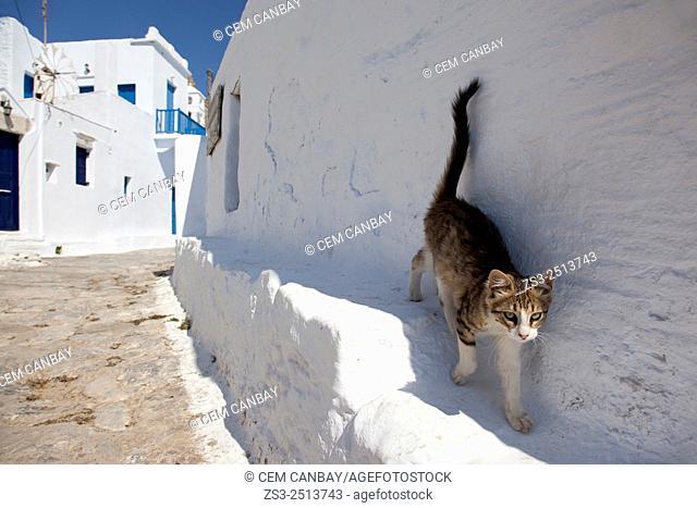 Cat walking in the street in town center, Chora, Amorgos, Cyclades Islands, Greek Islands, Greece, Europe