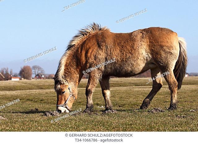 Norwegisches Fjordpferd  Norweger, Fjordpony , Equus przewalskii f  caballus, Schleswig-Holstein, Deutschland , Norwegian Fjord-Horse