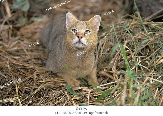 Jungle Cat Felis chaus Lying on dead vegetation - looking up