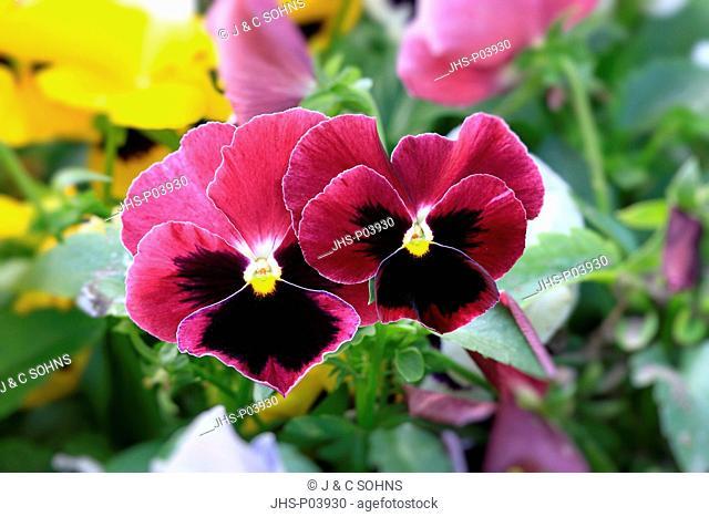 Viola,Viola cornuta,Ellerstadt,Rheinland Pfalz,Germany,Europe,blooming
