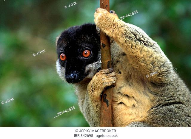 Common Brown Lemur (Eulemur fulvus fulvus), adult male on a tree, Madagascar, Africa