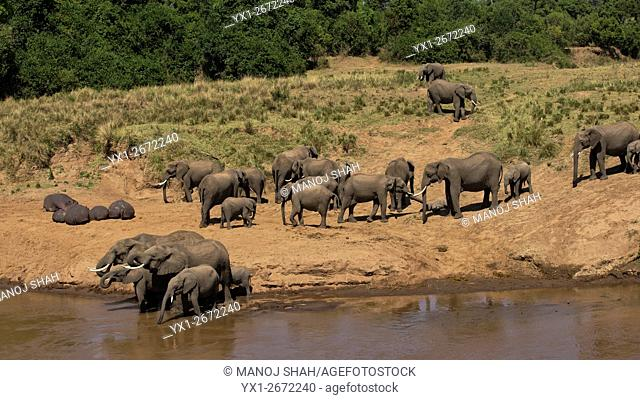 Elephant herd drinking from Mara River with hippos resting in the sun. Masai Mara National Reserve, Kenya
