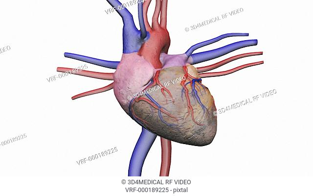 Animation depicting a full rotation of the heart with its connecting veins and arteries