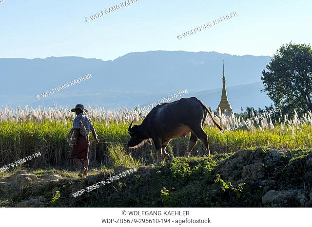 View of a farmer with Brahma cow and backlit reeds and a stupa near the Naungtaw Village on Inle Lake in Myanmar