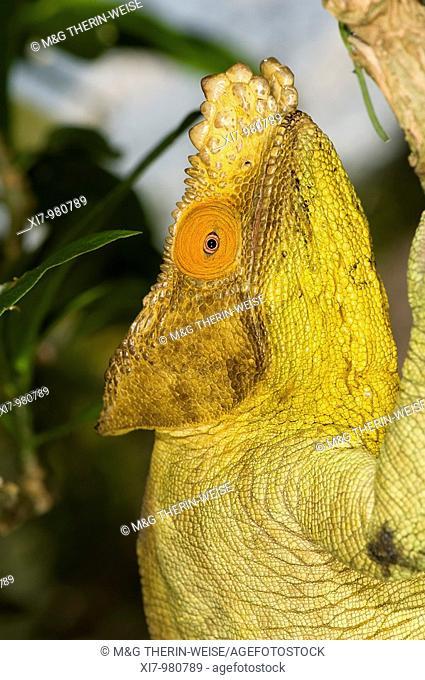 Parson's chameleon Calumma parsonii, Madagascar