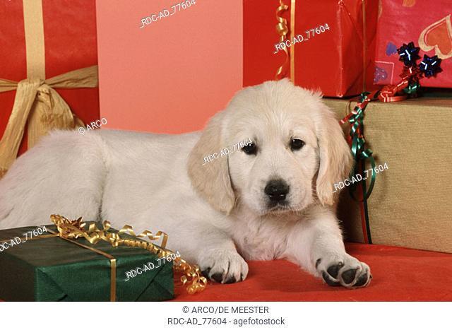 Labrador Retriever puppy with Christmas gift, Stock Photo