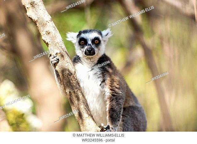 Ring-tailed Lemur (Lemur catta), Anja Community Reserve, Haute Matsiatra Region, Madagascar, Africa