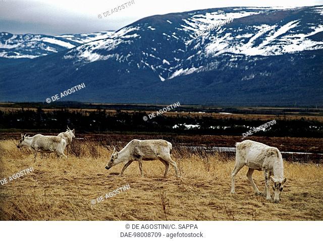 Caribou (Rangifer tarandus caribou) grazing, near Port aux Basques, Newfoundland, Canada