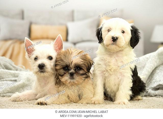 West Highland White Terrier, Shih-Tzu and Tibetan Terrier puppies West Highland White Terrier, Shih-Tzu and Tibetan Terrier puppies
